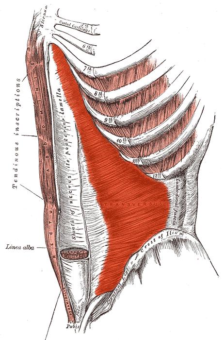 Transversus_abdominis_muscle