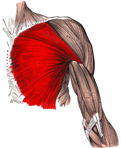 pectoralis major muscle dumbbell chest exercises without a bench