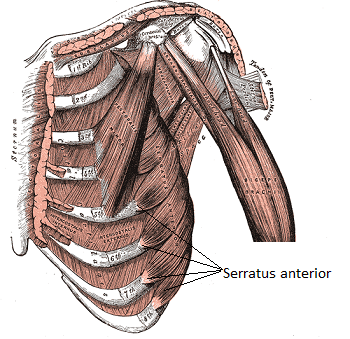 serratus_anterior muscle dumbbell chest exercises without a bench